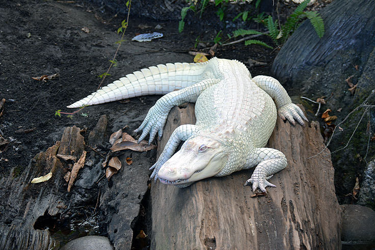 An Albino Alligator At N C Aquarium Fort Fisher
