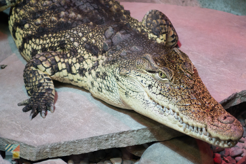 See aligators at the NC Aquarium