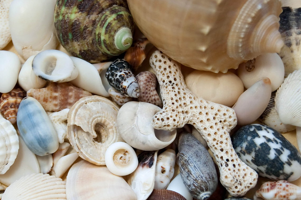 Carolina Beach Shelling Guide - CarolinaBeach.com